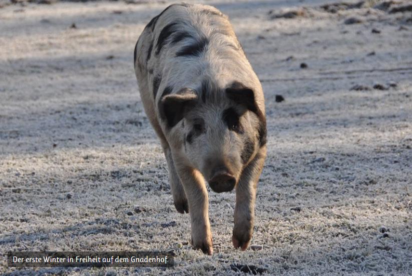 Mein Patenschwein Jan (Foto: Dt. Tierschutzbüro)
